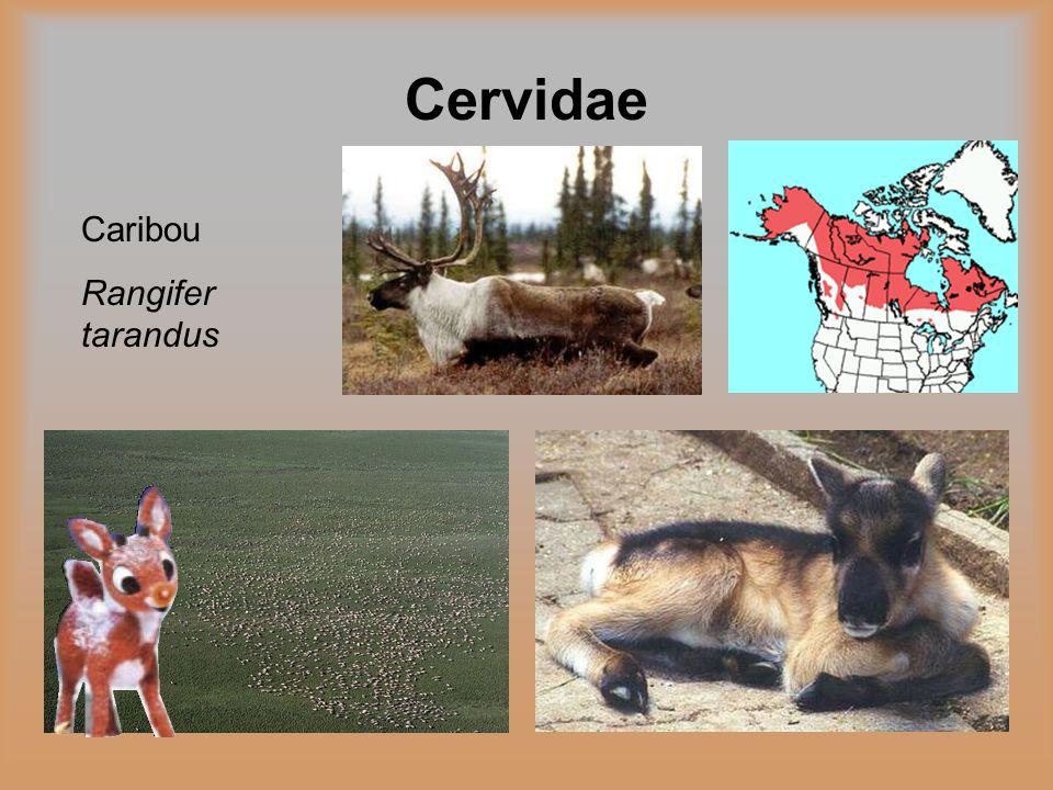 Cervidae Caribou Rangifer tarandus