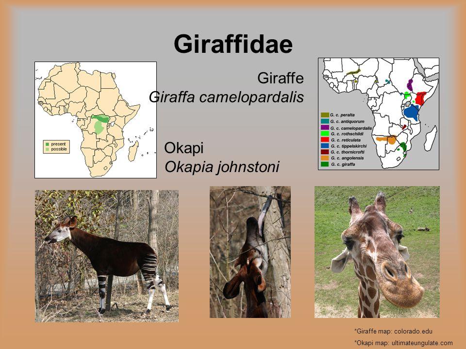 Giraffidae *Giraffe map: colorado.edu *Okapi map: ultimateungulate.com Giraffe Giraffa camelopardalis Okapi Okapia johnstoni