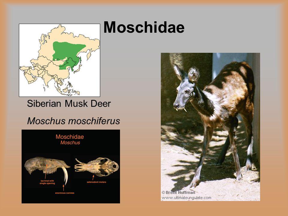 Moschidae Siberian Musk Deer Moschus moschiferus