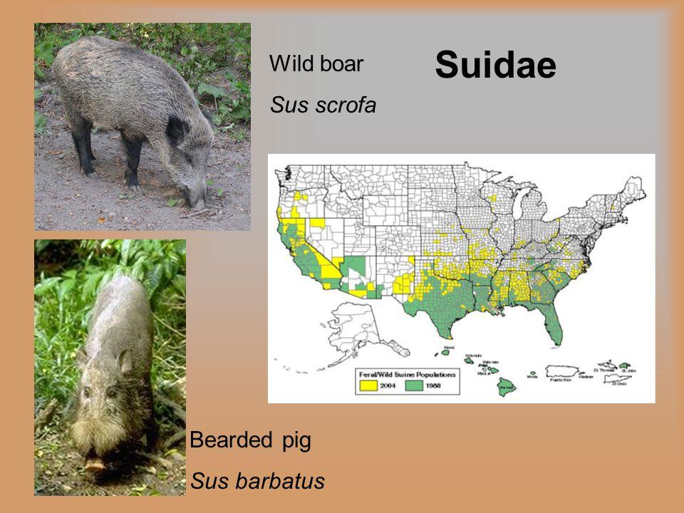 Suidae Wild boar Sus scrofa Bearded pig Sus barbatus
