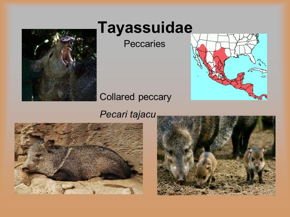 Tayassuidae Peccaries Collared peccary Pecari tajacu