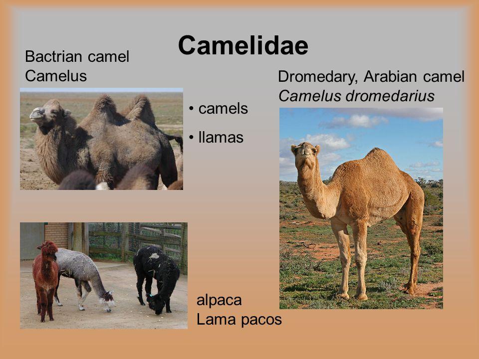 Camelidae alpaca Lama pacos Bactrian camel Camelus bactrianus camels llamas Dromedary, Arabian camel Camelus dromedarius