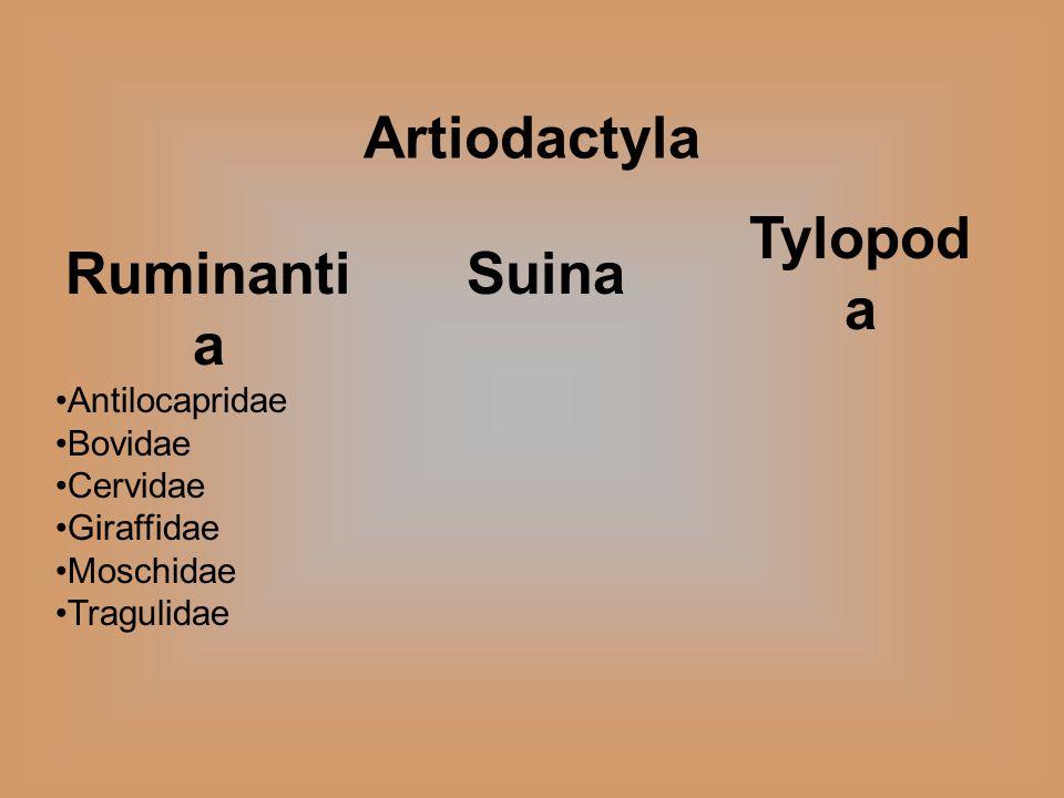 Suina Artiodactyla Ruminanti a Antilocapridae Bovidae Cervidae Giraffidae Moschidae Tragulidae Tylopod a
