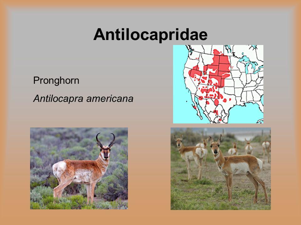 Antilocapridae Pronghorn Antilocapra americana