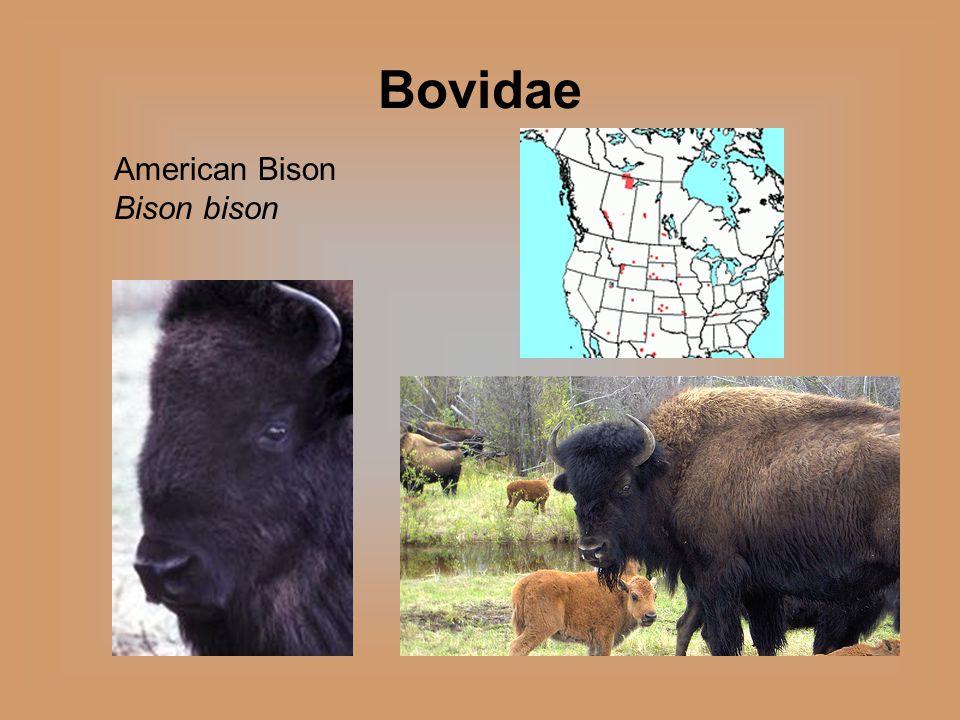 Bovidae American Bison Bison bison