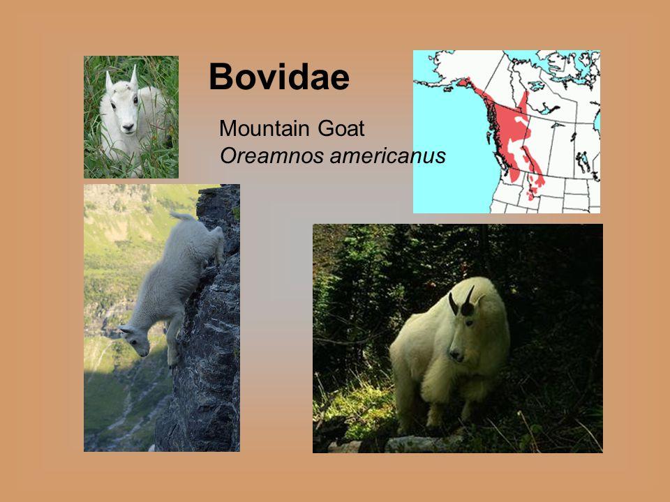 Bovidae Mountain Goat Oreamnos americanus