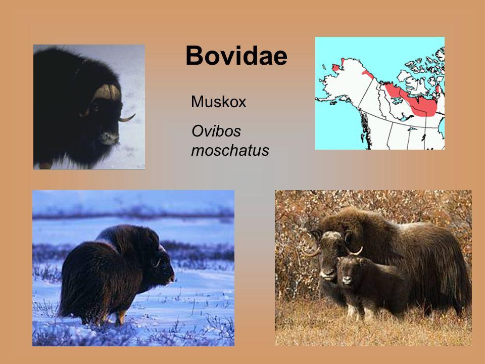 Muskox Ovibos moschatus Bovidae