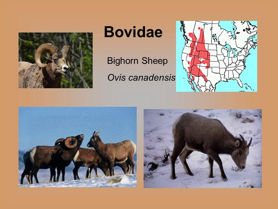 Bighorn Sheep Ovis canadensis Bovidae
