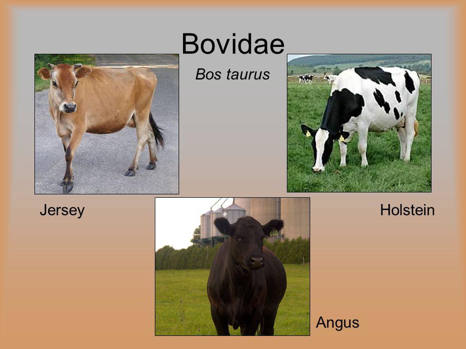 Bos taurus Holstein Angus Jersey