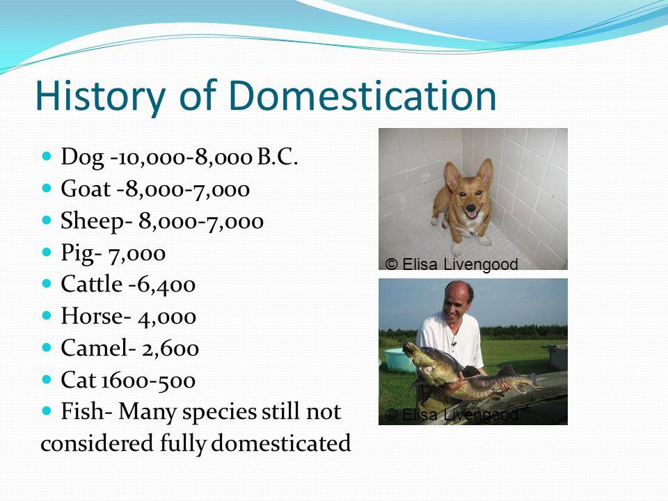 History of Domestication Dog -10,000-8,000 B.C. Goat -8,000-7,000 Sheep- 8,000-7,000 Pig- 7,000 Cattle -6,400 Horse- 4,000 Camel- 2,600 Cat 1600-500 F