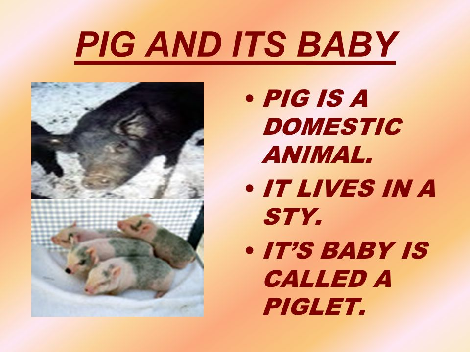 PIG AND ITS BABY PIG IS A DOMESTIC ANIMAL. IT LIVES IN A STY. IT'S BABY IS CALLED A PIGLET.