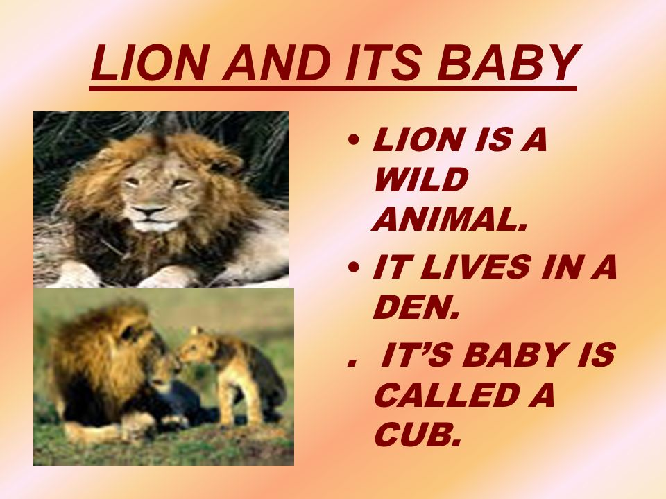 LION AND ITS BABY LION IS A WILD ANIMAL. IT LIVES IN A DEN.. IT'S BABY IS CALLED A CUB.
