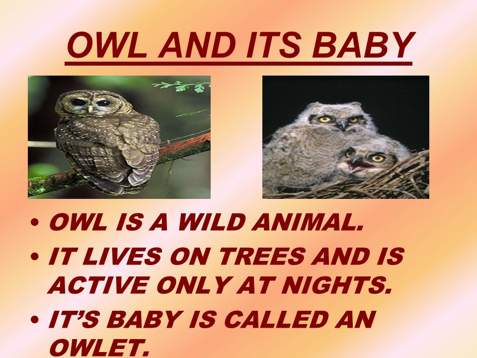OWL AND ITS BABY OWL IS A WILD ANIMAL. IT LIVES ON TREES AND IS ACTIVE ONLY AT NIGHTS. IT'S BABY IS CALLED AN OWLET.