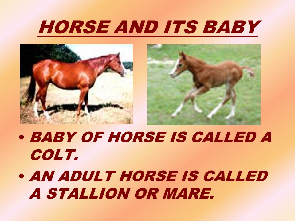 HORSE AND ITS BABY BABY OF HORSE IS CALLED A COLT. AN ADULT HORSE IS CALLED A STALLION OR MARE.
