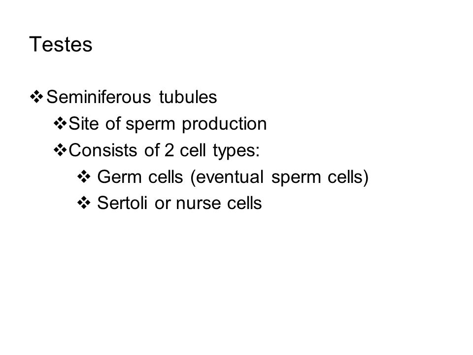 Testes  Seminiferous tubules  Site of sperm production  Consists of 2 cell types:  Germ cells (eventual sperm cells)  Sertoli or nurse cells