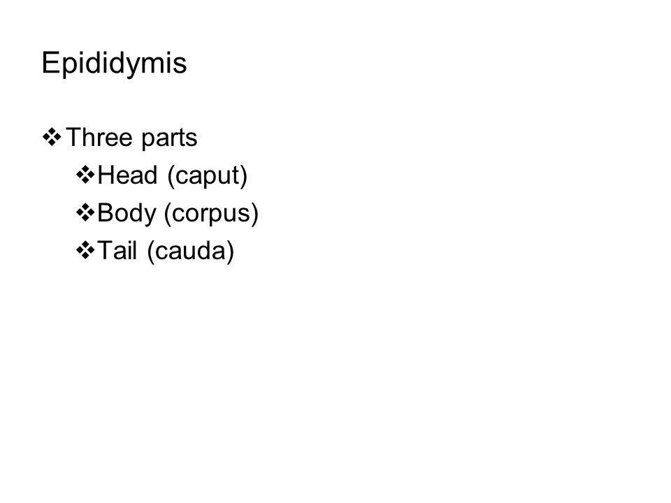 Epididymis  Three parts  Head (caput)  Body (corpus)  Tail (cauda)