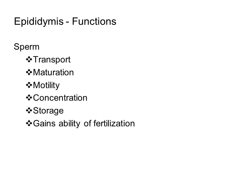 Epididymis - Functions Sperm  Transport  Maturation  Motility  Concentration  Storage  Gains ability of fertilization
