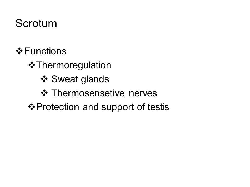Scrotum  Functions  Thermoregulation  Sweat glands  Thermosensetive nerves  Protection and support of testis