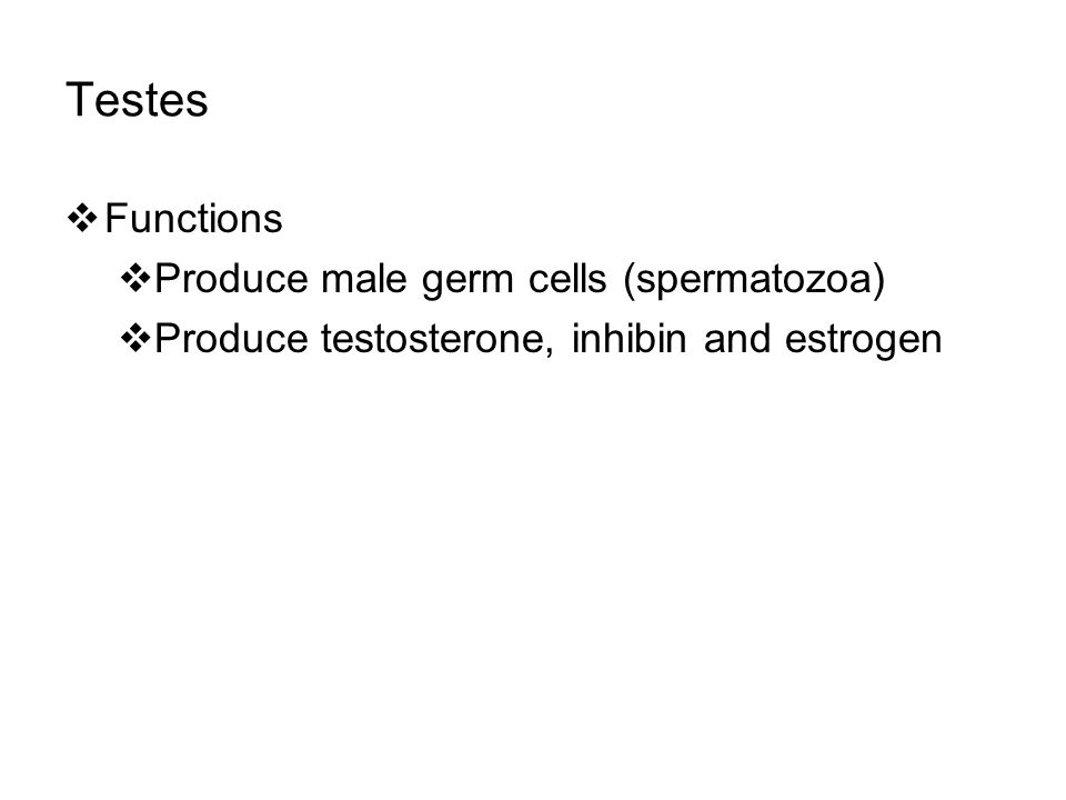 Testes  Functions  Produce male germ cells (spermatozoa)  Produce testosterone, inhibin and estrogen