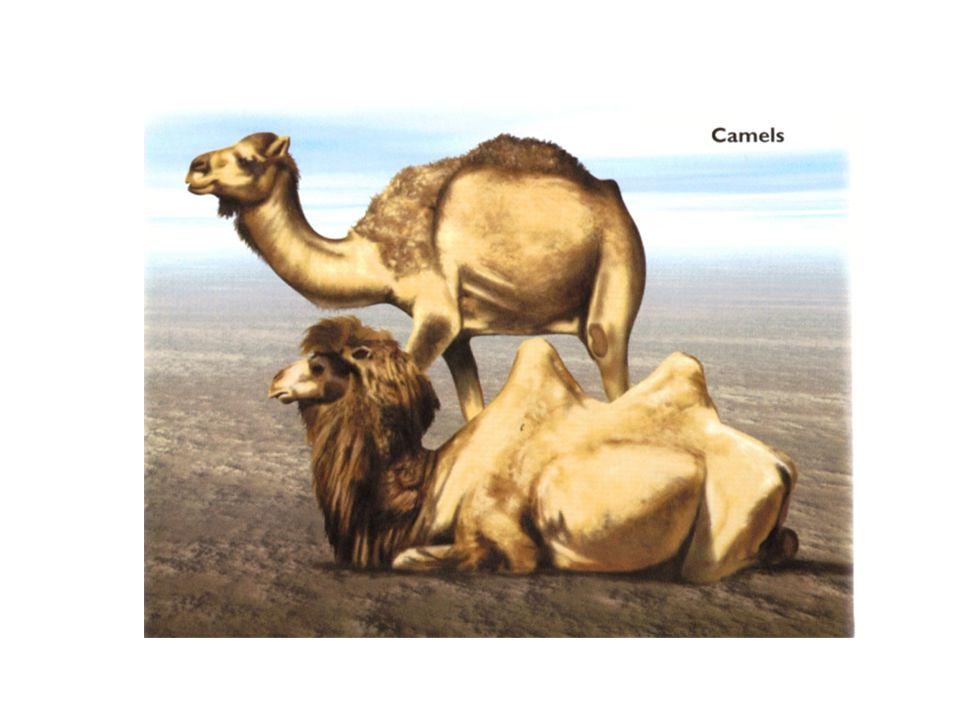 Arabian camels (dromedaries) have a single hump.
