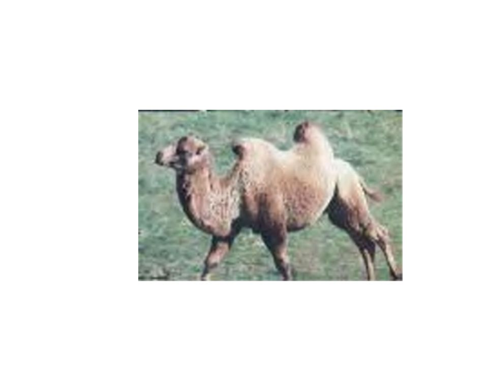 Could you colour this dromedary camel?