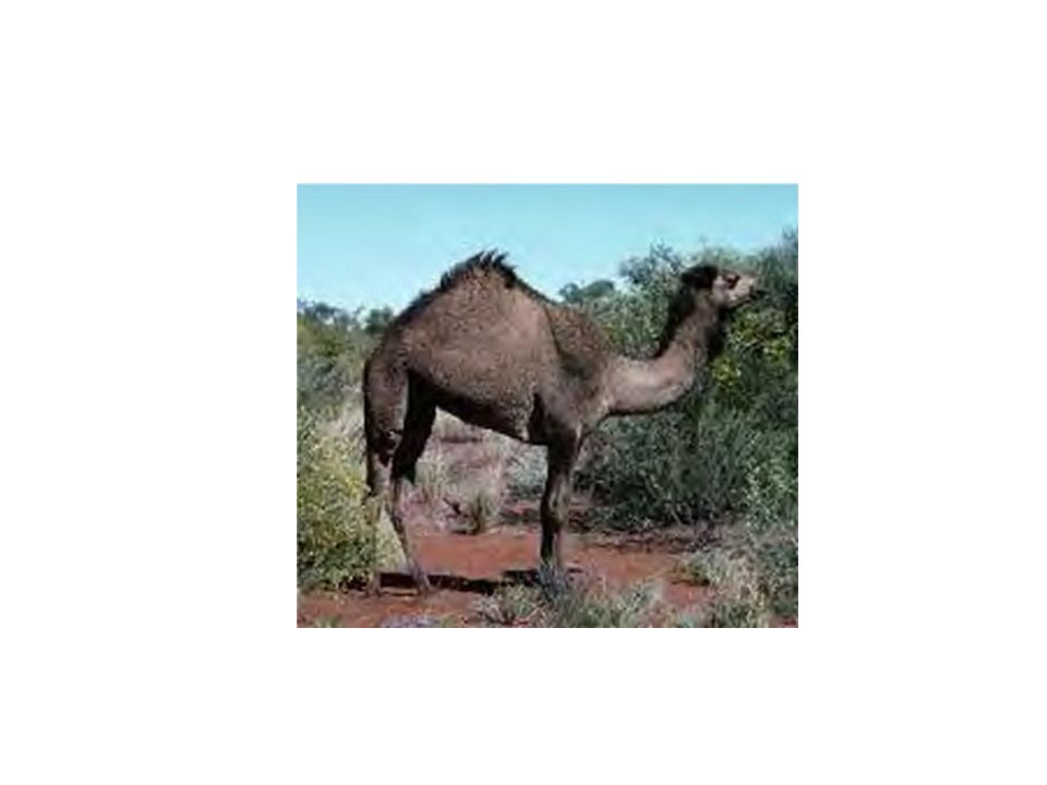 They are found in North Africa as well as Arabia.