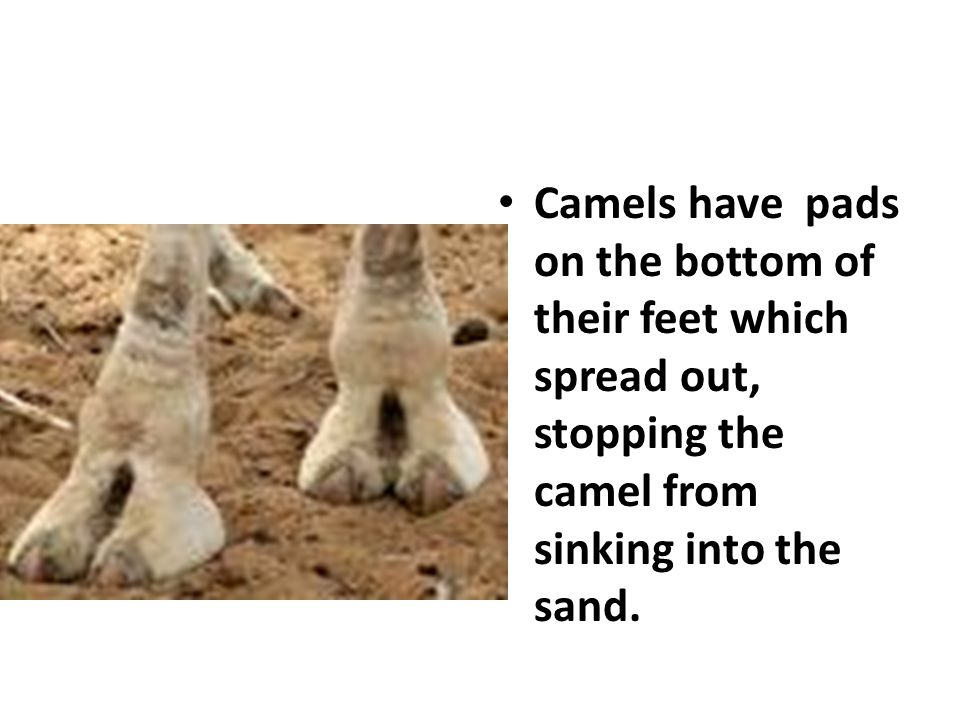 Camels have pads on the bottom of their feet which spread out, stopping the camel from sinking into the sand.