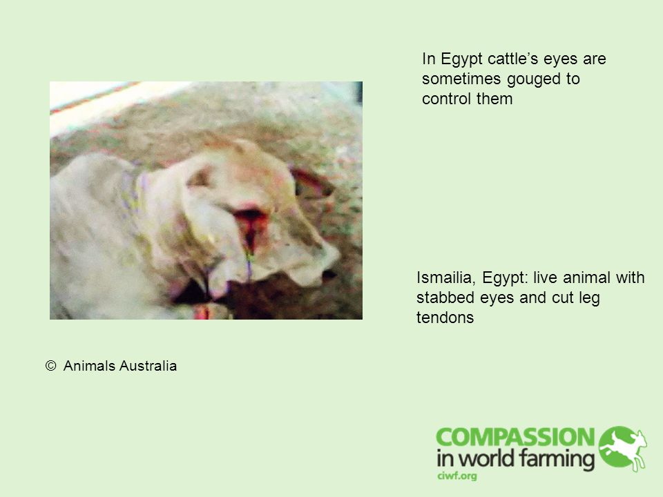 In Egypt cattle's eyes are sometimes gouged to control them Ismailia, Egypt: live animal with stabbed eyes and cut leg tendons © Animals Australia