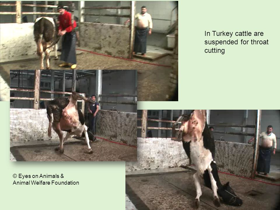 In Turkey cattle are suspended for throat cutting © Eyes on Animals & Animal Welfare Foundation