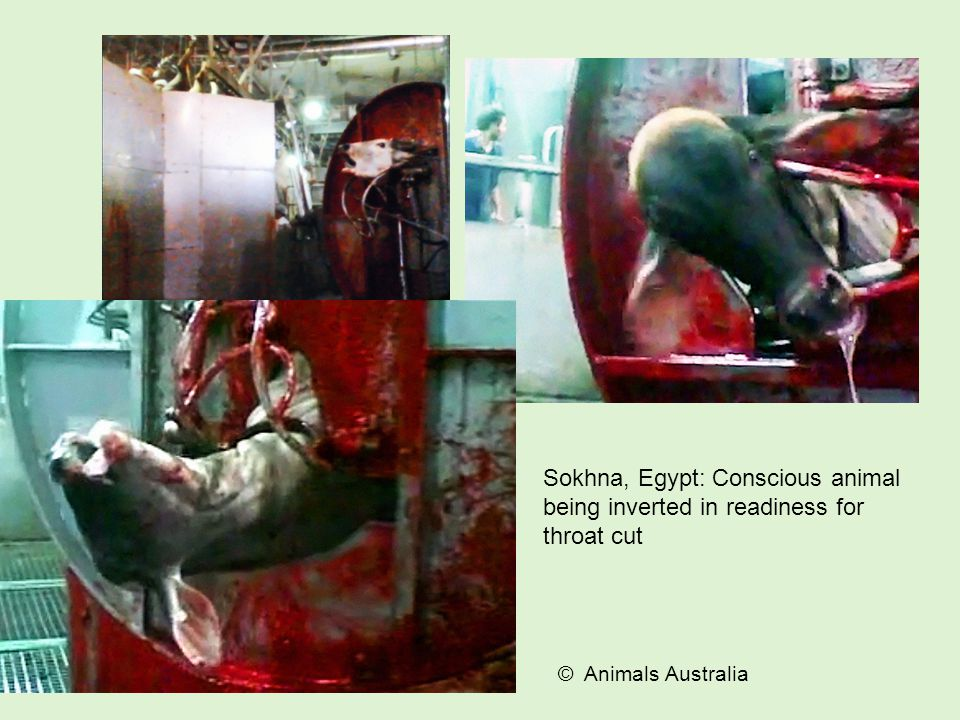 Sokhna, Egypt: Conscious animal being inverted in readiness for throat cut © Animals Australia