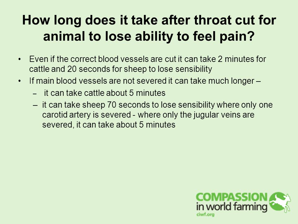 How long does it take after throat cut for animal to lose ability to feel pain? Even if the correct blood vessels are cut it can take 2 minutes for ca