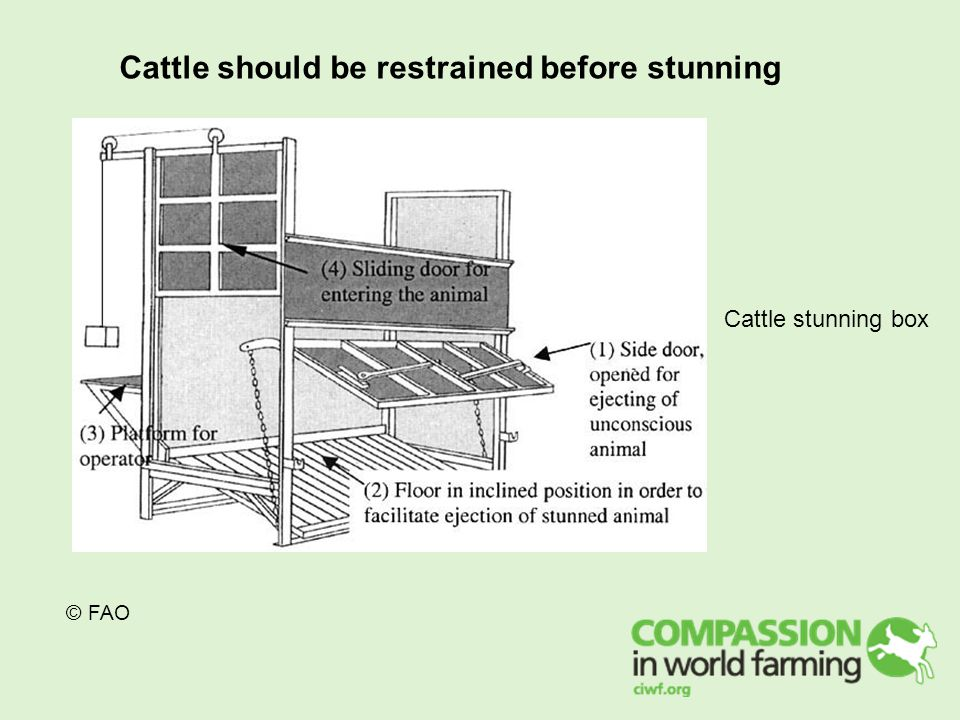 © FAO Cattle should be restrained before stunning Cattle stunning box