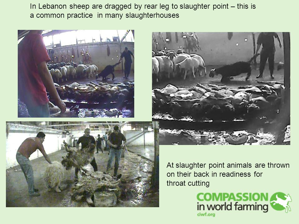 In Lebanon sheep are dragged by rear leg to slaughter point – this is a common practice in many slaughterhouses At slaughter point animals are thrown