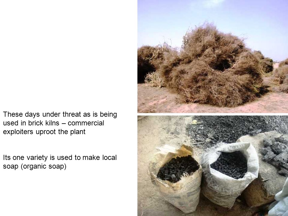 These days under threat as is being used in brick kilns – commercial exploiters uproot the plant Its one variety is used to make local soap (organic s