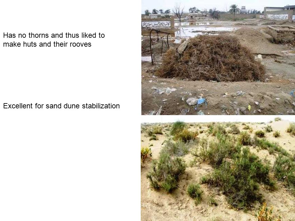 Has no thorns and thus liked to make huts and their rooves Excellent for sand dune stabilization