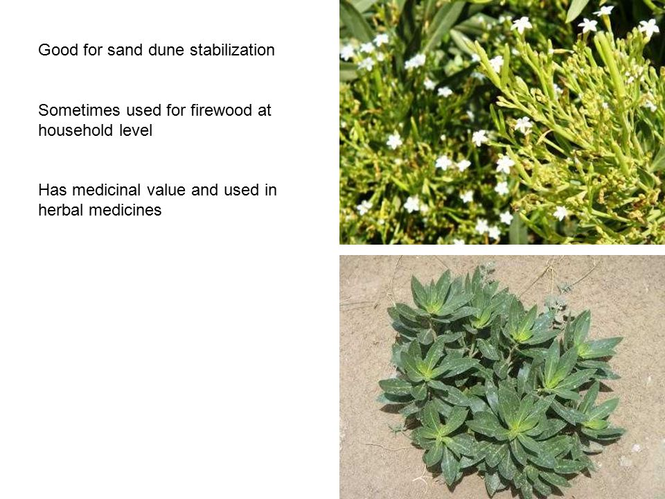 Good for sand dune stabilization Sometimes used for firewood at household level Has medicinal value and used in herbal medicines