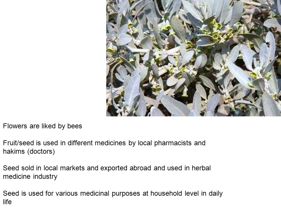 Flowers are liked by bees Fruit/seed is used in different medicines by local pharmacists and hakims (doctors) Seed sold in local markets and exported