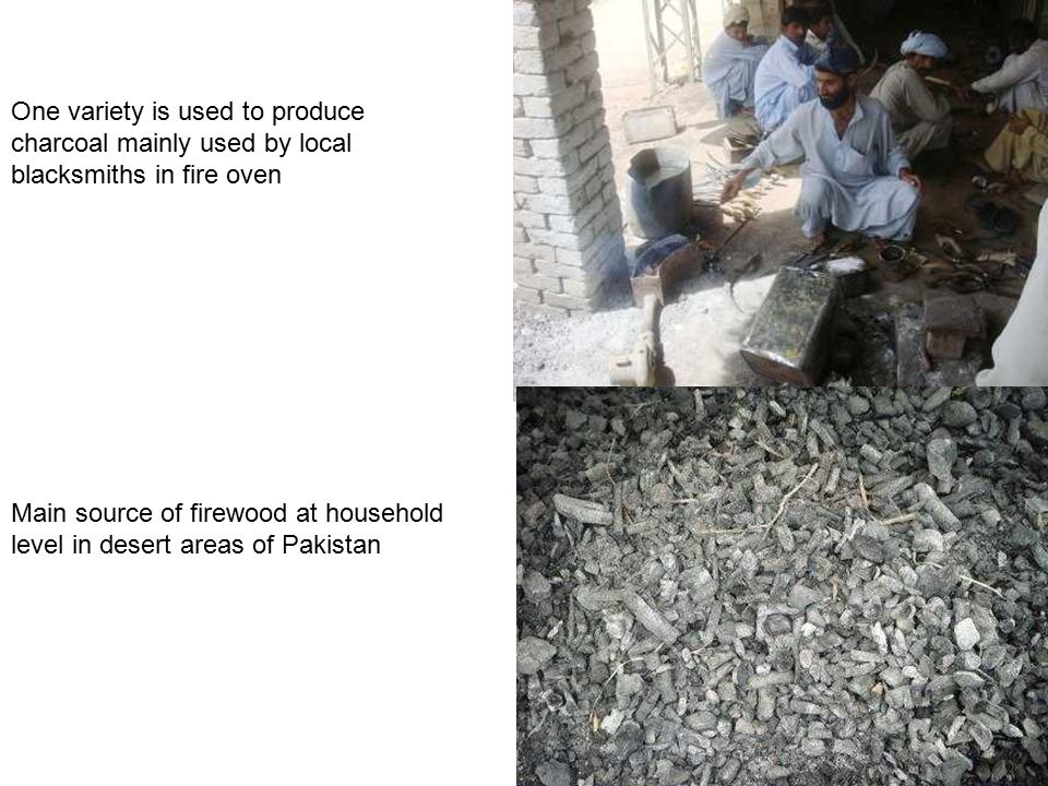 One variety is used to produce charcoal mainly used by local blacksmiths in fire oven Main source of firewood at household level in desert areas of Pakistan