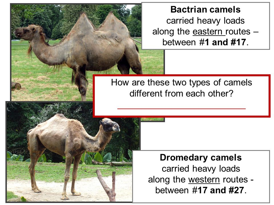 Dromedary camels carried heavy loads along the western routes - between #17 and #27.