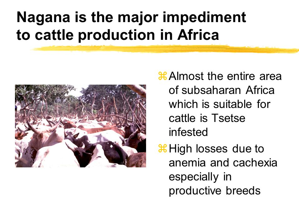 Nagana is the major impediment to cattle production in Africa zAlmost the entire area of subsaharan Africa which is suitable for cattle is Tsetse infested zHigh losses due to anemia and cachexia especially in productive breeds