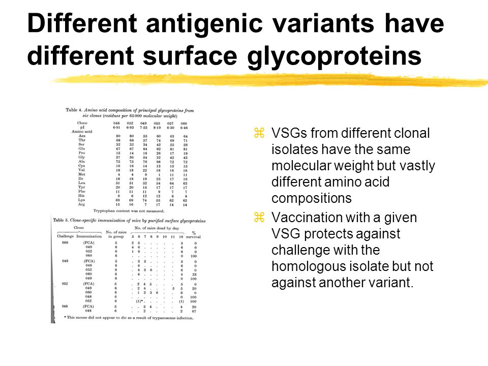 VSGs share a common structure zAll VSGs are 65 kDA glycoproteins zMost contain classical N-linked glycans and all are anchored via a GPI glycolipid (cross reacting determinant) zTwo domains can be cleaved by trypsin zThe outer domain is highly variable and the only conservation detected is the position of cysteines zVSG forms dimers