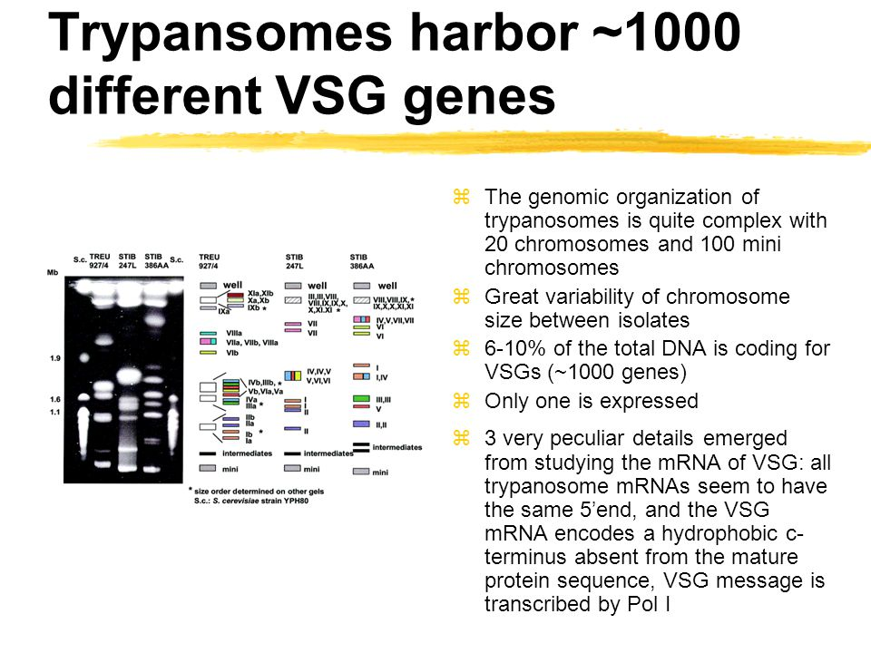 Trypansomes harbor ~1000 different VSG genes zThe genomic organization of trypanosomes is quite complex with 20 chromosomes and 100 mini chromosomes z