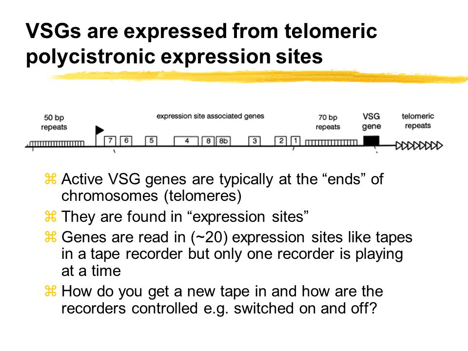 VSGs are expressed from telomeric polycistronic expression sites zActive VSG genes are typically at the ends of chromosomes (telomeres) zThey are found in expression sites zGenes are read in (~20) expression sites like tapes in a tape recorder but only one recorder is playing at a time zHow do you get a new tape in and how are the recorders controlled e.g.
