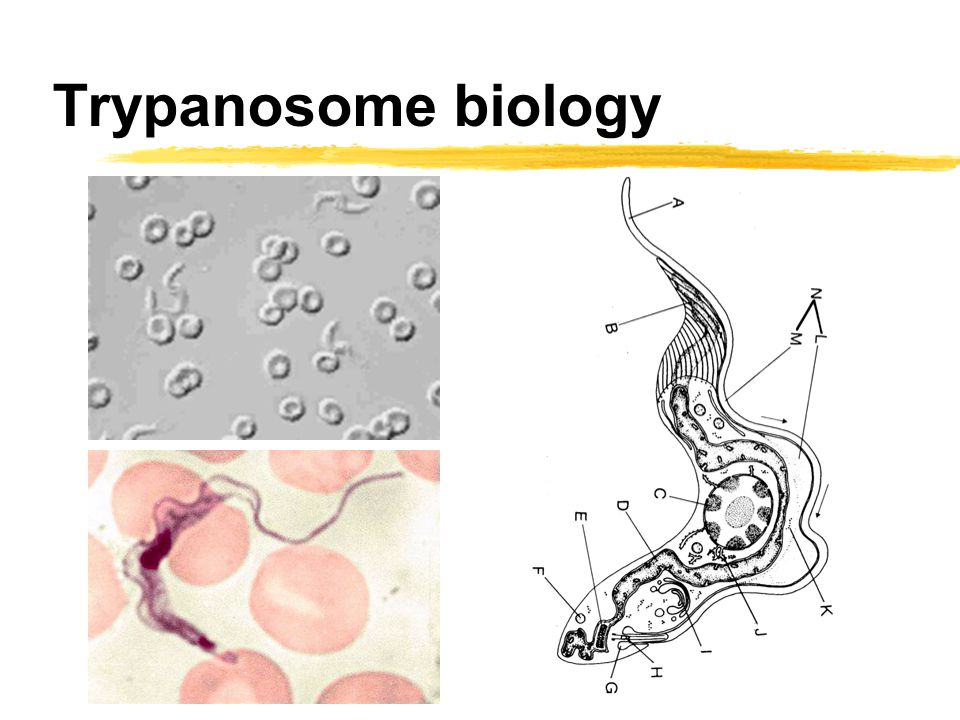 Trypanosome biology