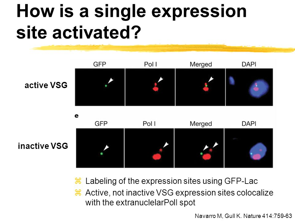 How is a single expression site activated? active VSG inactive VSG zLabeling of the expression sites using GFP-Lac zActive, not inactive VSG expressio