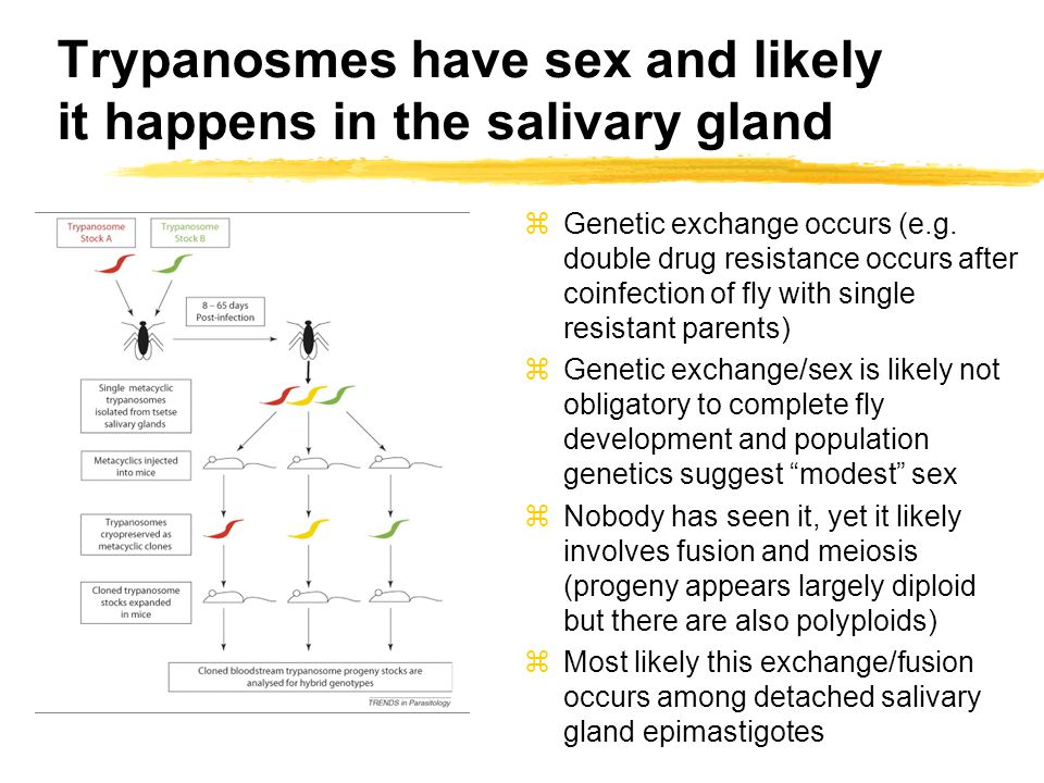 Trypanosmes have sex and likely it happens in the salivary gland zGenetic exchange occurs (e.g.
