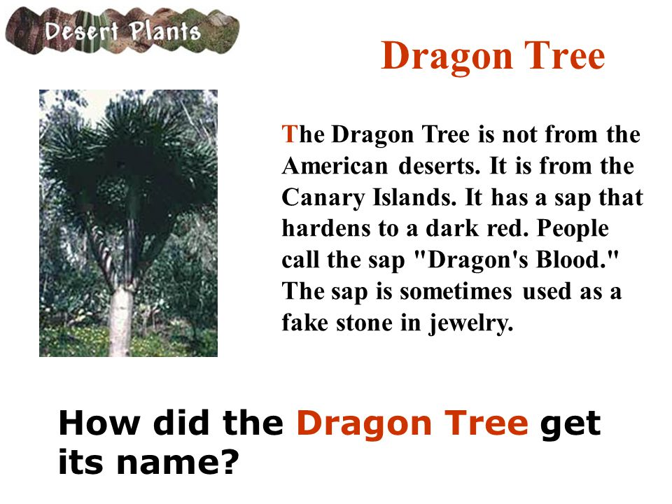 Dragon Tree The Dragon Tree is not from the American deserts. It is from the Canary Islands. It has a sap that hardens to a dark red. People call the