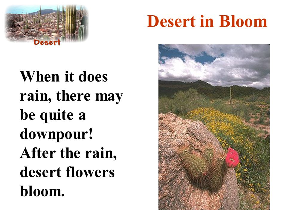 Desert in Bloom When it does rain, there may be quite a downpour! After the rain, desert flowers bloom.