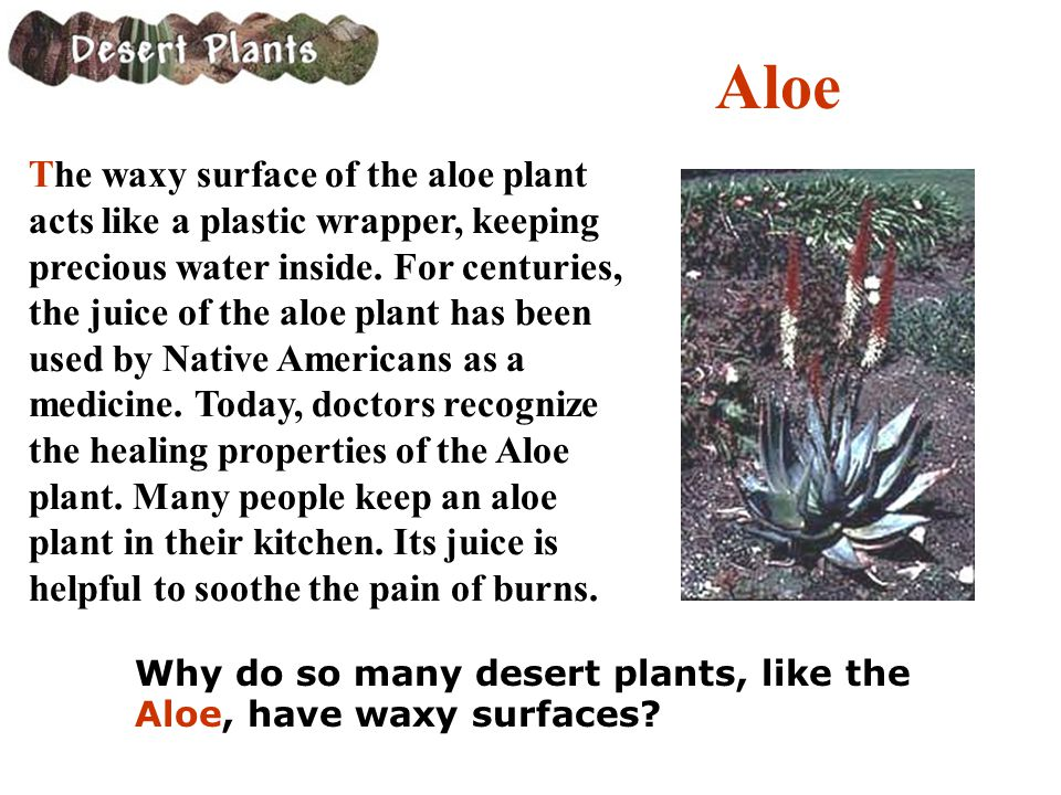 Aloe The waxy surface of the aloe plant acts like a plastic wrapper, keeping precious water inside. For centuries, the juice of the aloe plant has bee