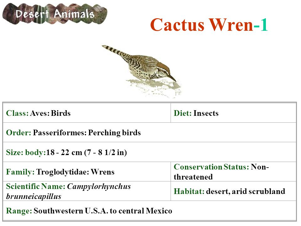 Cactus Wren-1 Class: Aves: BirdsDiet: Insects Order: Passeriformes: Perching birds Size: body:18 - 22 cm (7 - 8 1/2 in) Family: Troglodytidae: Wrens C